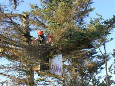 tree_removals_pruning_trimming_abc_tree_services