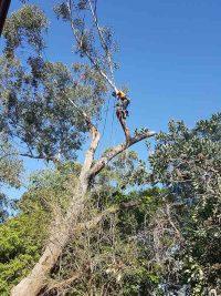 climber_tree_removal_nsw